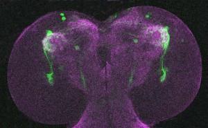https://helenajohard.com/files/gimgs/th-16_larvae-brainweb.jpg